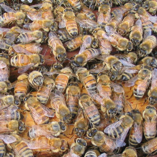 Italian Honey Bee Pin Italian-honey-bees...